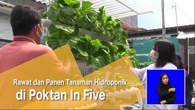 Rawat dan Panen Tanaman Hidroponik di Poktan In Five